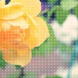 黄色のバラの壁紙